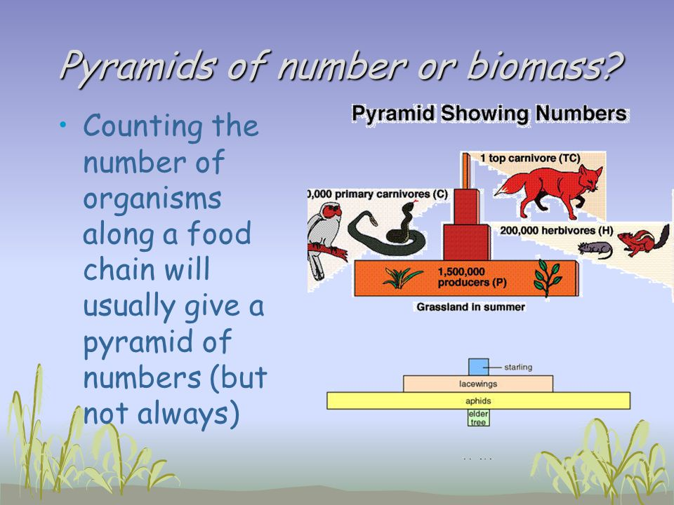 Pyramids of number or biomass? Counting the number of organisms along a food chain will usually give a pyramid of numbers (but not always)