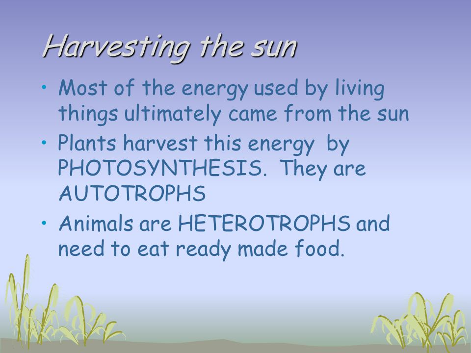 Harvesting the sun Most of the energy used by living things ultimately came from the sun Plants harvest this energy by PHOTOSYNTHESIS. They are AUTOTR