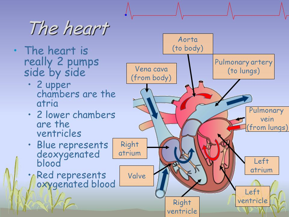 The heart The heart is really 2 pumps side by side 2 upper chambers are the atria 2 lower chambers are the ventricles Blue represents deoxygenated blo