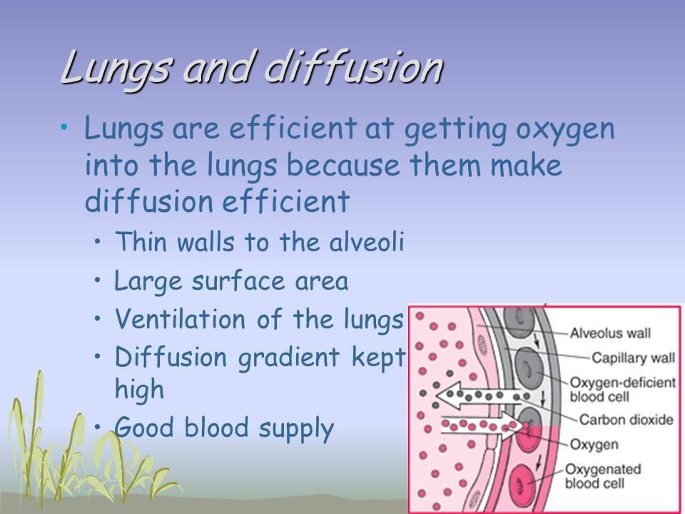 Lungs and diffusion Lungs are efficient at getting oxygen into the lungs because them make diffusion efficient Thin walls to the alveoli Large surface