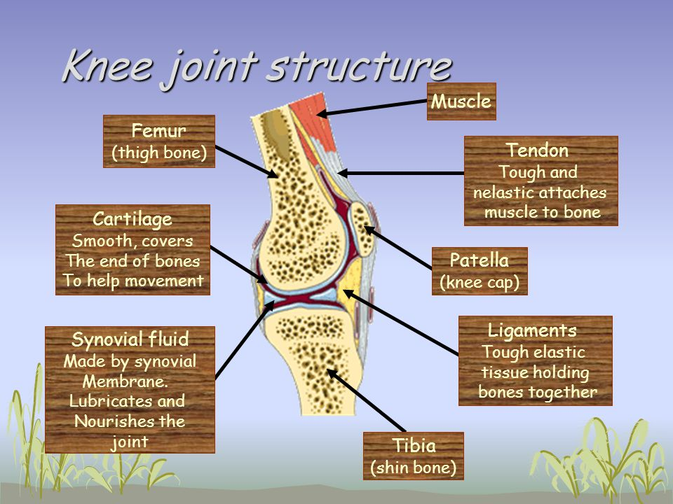 Knee joint structure Femur (thigh bone) Tibia (shin bone) Patella (knee cap) Muscle Ligaments Tough elastic tissue holding bones together Tendon Tough
