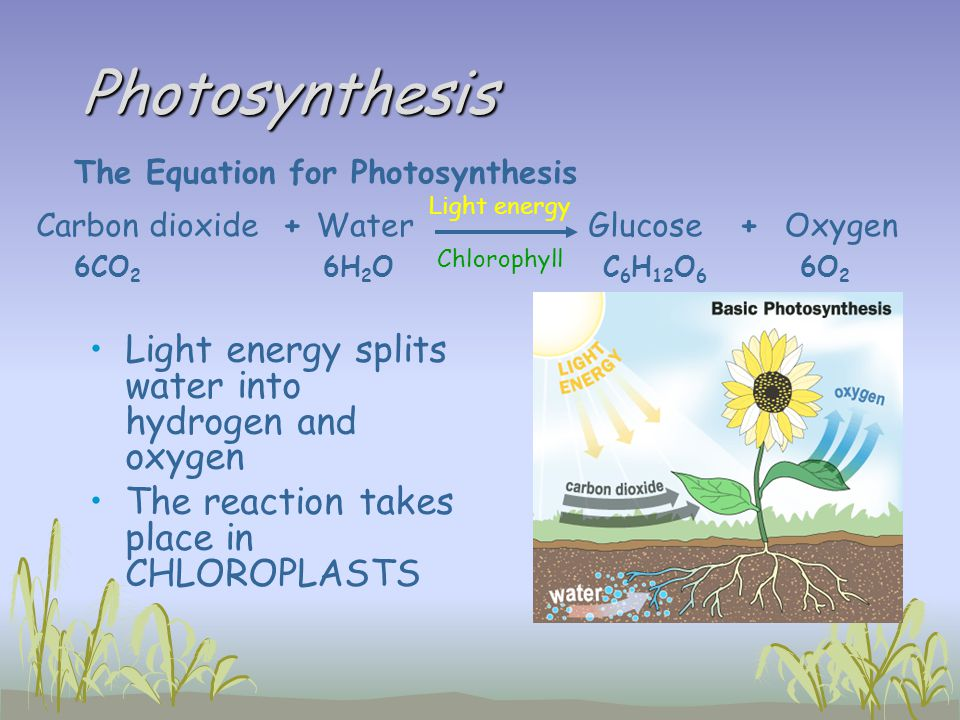 Photosynthesis Light energy splits water into hydrogen and oxygen The reaction takes place in CHLOROPLASTS The Equation for Photosynthesis Carbon diox