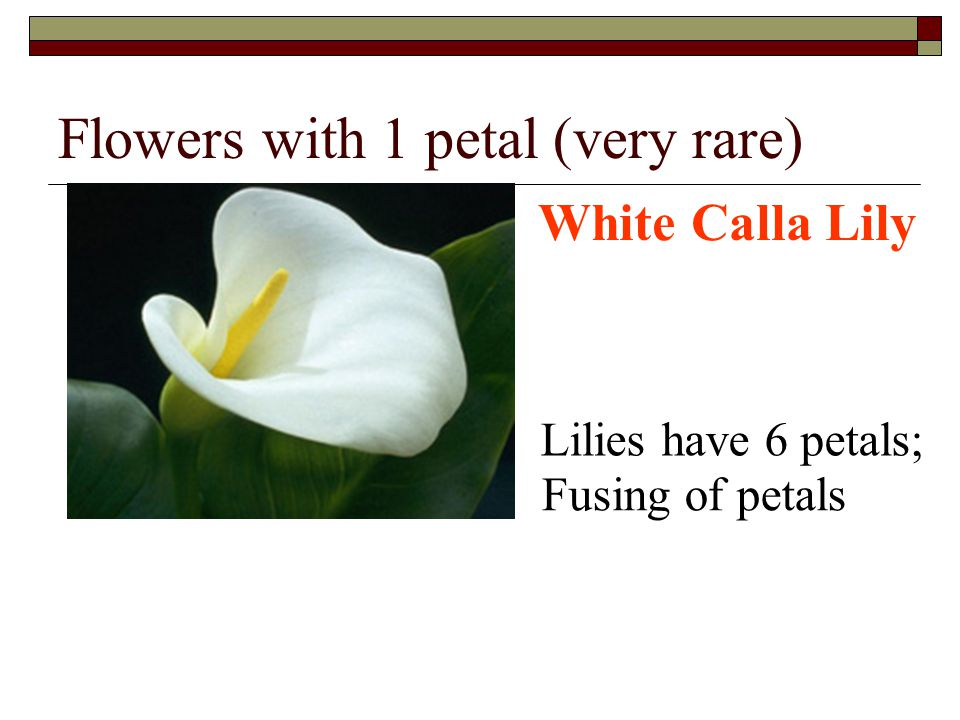 Flowers with 1 petal (very rare) White Calla Lily Lilies have 6 petals; Fusing of petals