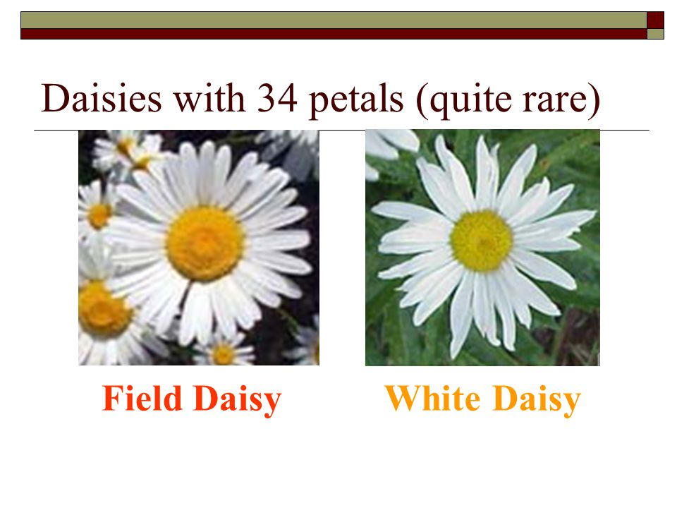 Daisies with 34 petals (quite rare) Field DaisyWhite Daisy