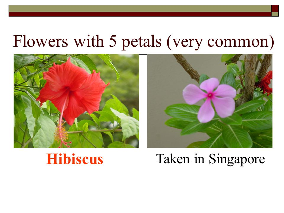 Flowers with 5 petals (very common) Taken in Singapore Hibiscus