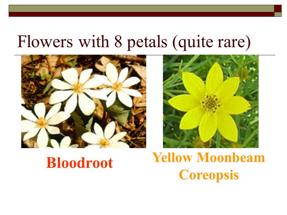 Flowers with 8 petals (quite rare) Bloodroot Yellow Moonbeam Coreopsis