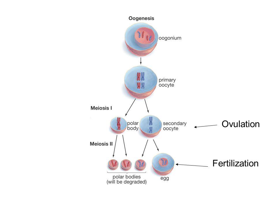 Ovulation Fertilization