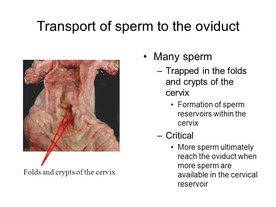 Transport of sperm to the oviduct Many sperm –Trapped in the folds and crypts of the cervix Formation of sperm reservoirs within the cervix –Critical