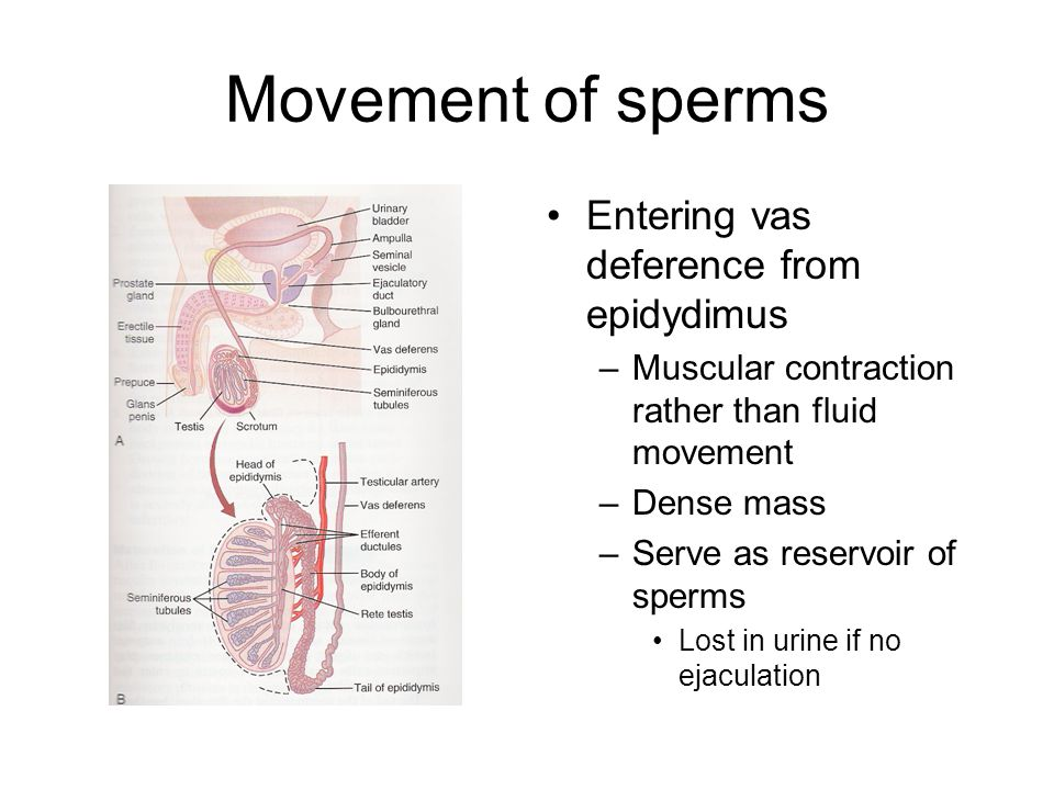 Movement of sperms Entering vas deference from epidydimus –Muscular contraction rather than fluid movement –Dense mass –Serve as reservoir of sperms L