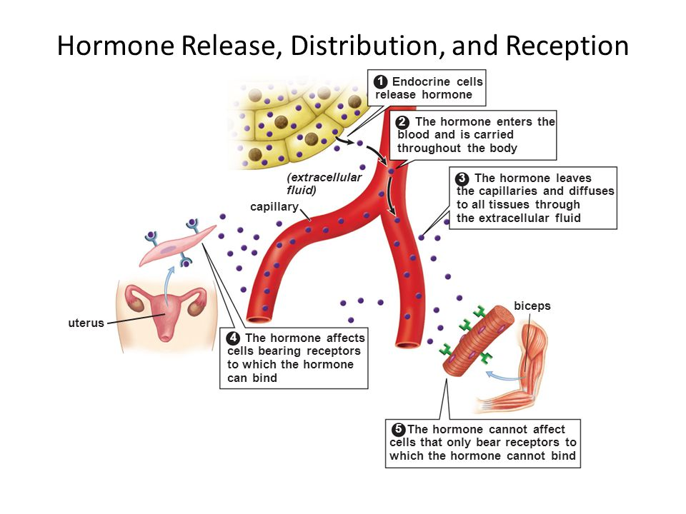 Endocrine cells release hormone The hormone enters the blood and is carried throughout the body The hormone leaves the capillaries and diffuses to all