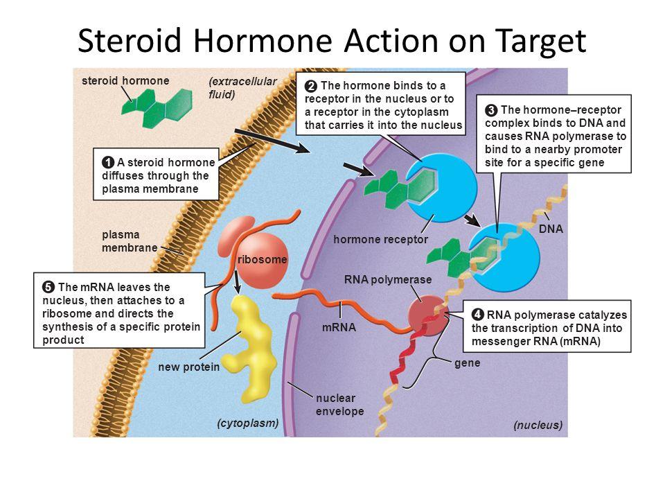 Steroid Hormone Action on Target Cells gene plasma membrane ribosome hormone receptor steroid hormone mRNA (nucleus) RNA polymerase DNA (cytoplasm) ne
