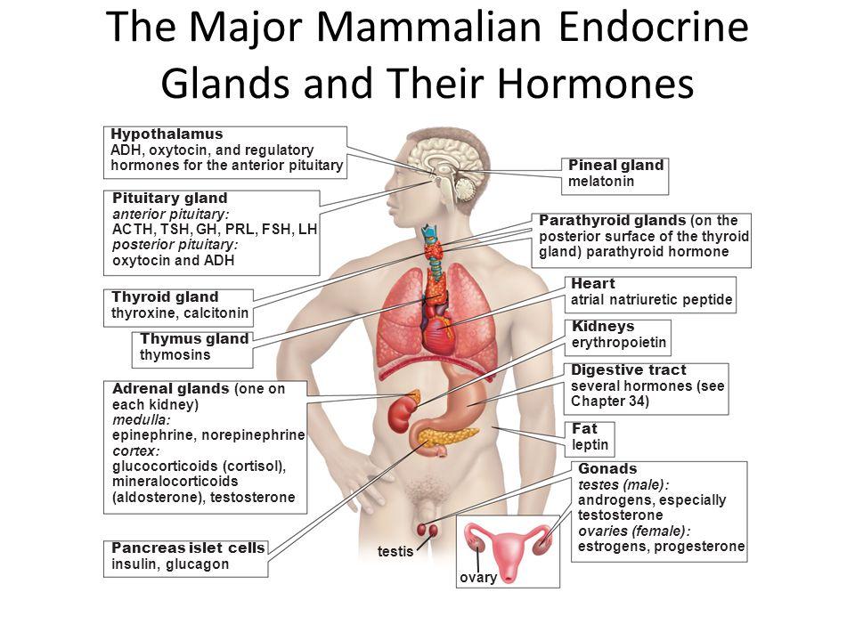 The Major Mammalian Endocrine Glands and Their Hormones Hypothalamus ADH, oxytocin, and regulatory hormones for the anterior pituitary Pineal gland me