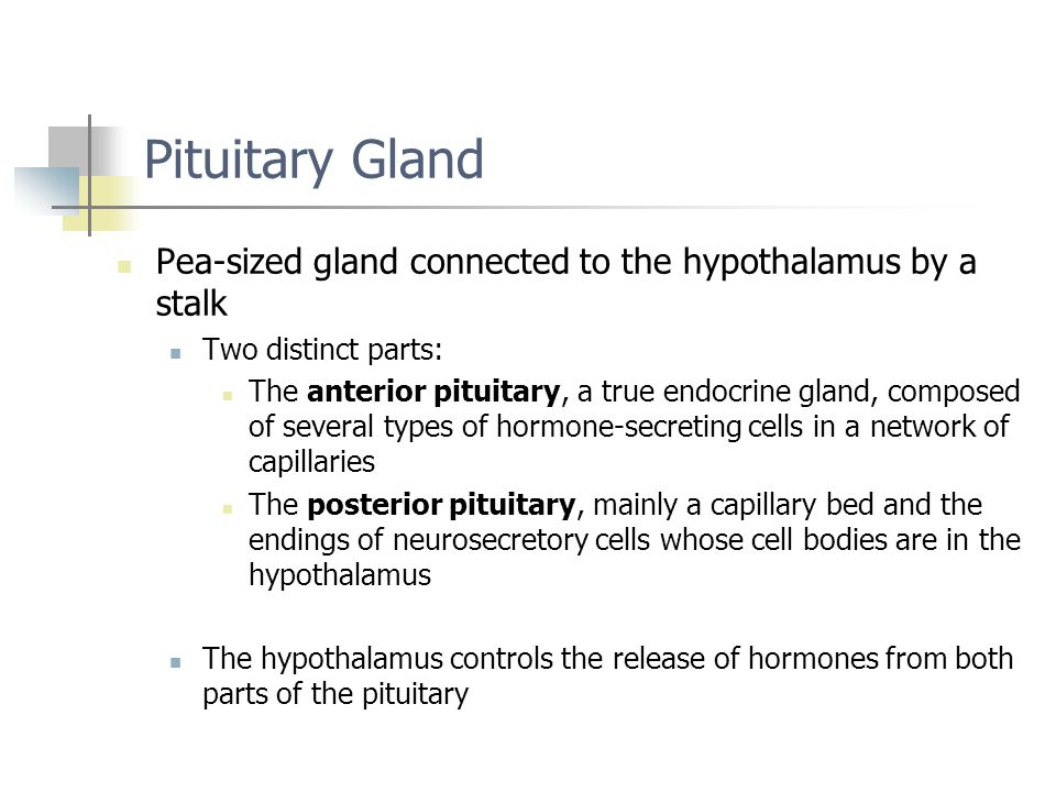 Pituitary Gland Pea-sized gland connected to the hypothalamus by a stalk Two distinct parts: The anterior pituitary, a true endocrine gland, composed