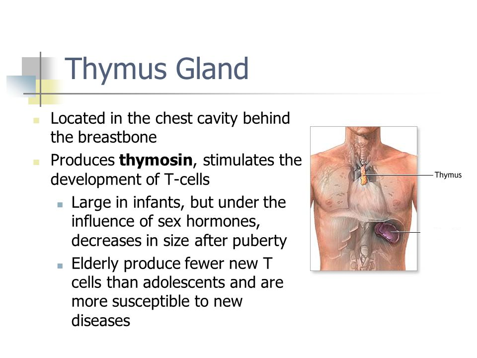 Thymus Gland Located in the chest cavity behind the breastbone Produces thymosin, stimulates the development of T-cells Large in infants, but under th