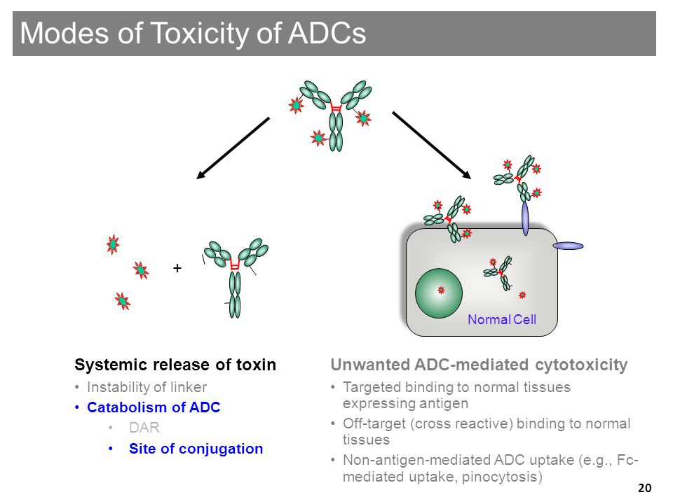 Genentech Confidential—Internal Use Only Unwanted ADC-mediated cytotoxicity •Targeted binding to normal tissues expressing antigen •Off-target (cross reactive) binding to normal tissues •Non-antigen-mediated ADC uptake (e.g., Fc- mediated uptake, pinocytosis) Systemic release of toxin •Instability of linker •Catabolism of ADC •DAR •Site of conjugation + Modes of Toxicity of ADCs Normal Cell 20