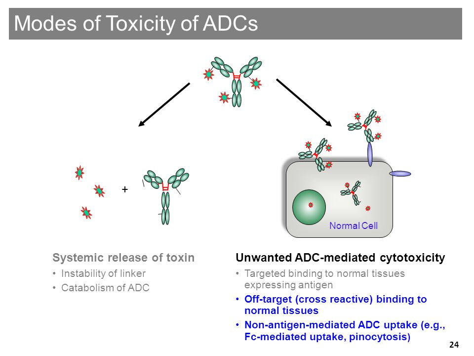 Unwanted ADC-mediated cytotoxicity •Targeted binding to normal tissues expressing antigen •Off-target (cross reactive) binding to normal tissues •Non-antigen-mediated ADC uptake (e.g., Fc-mediated uptake, pinocytosis ) Systemic release of toxin •Instability of linker •Catabolism of ADC + Modes of Toxicity of ADCs Normal Cell 24