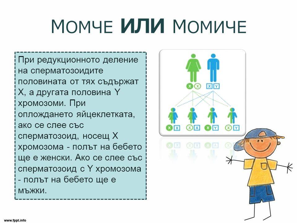 М ОМЧЕ ИЛИ М ОМИЧЕ При редукционното деление на сперматозоидите половината от тях съдържат Х, а другата половина Y хромозоми.