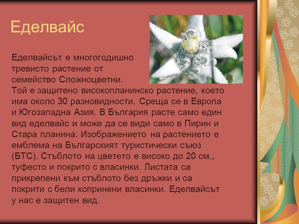Еделвайс Еделвайсът е многогодишно тревисто растение от семейство Сложноцветни. Той е защитено високопланинско растение, което има около 30 разновидно
