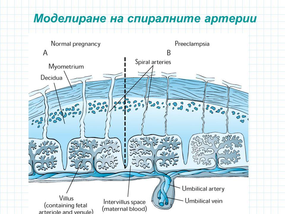 Моделиране на спиралните артерии