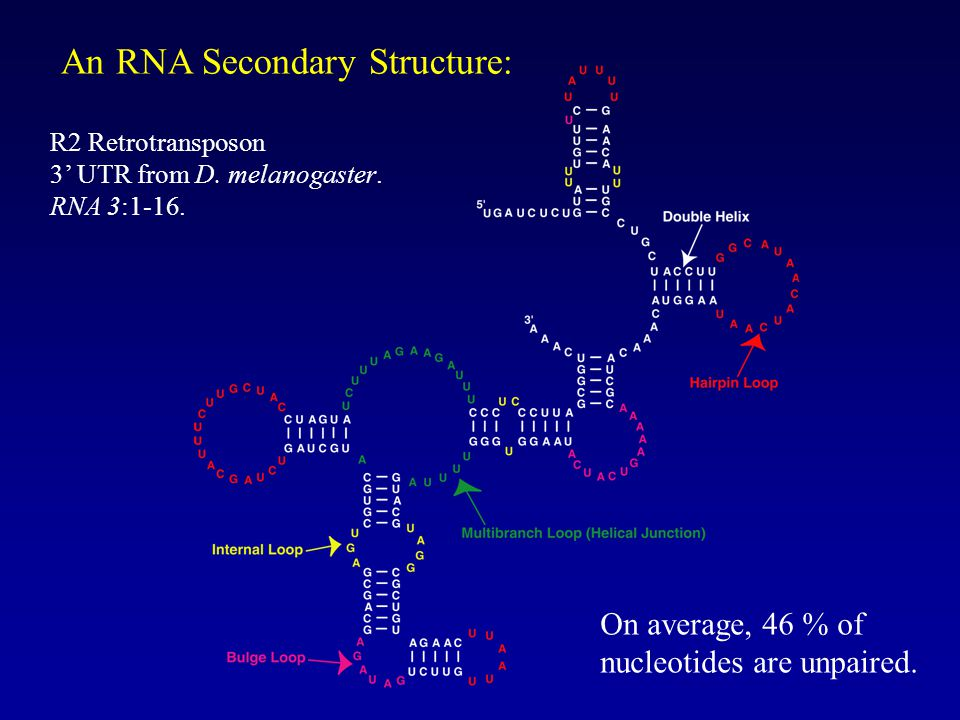 An RNA Secondary Structure: On average, 46 % of nucleotides are unpaired.