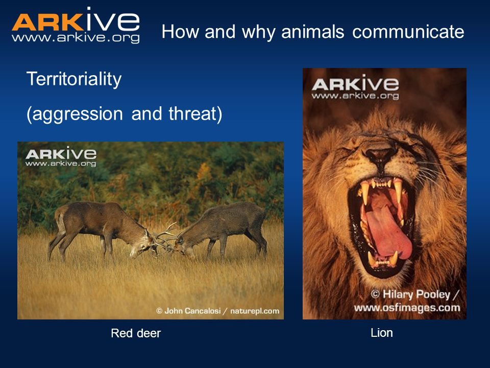 Territoriality (aggression and threat) How and why animals communicate Red deer Lion