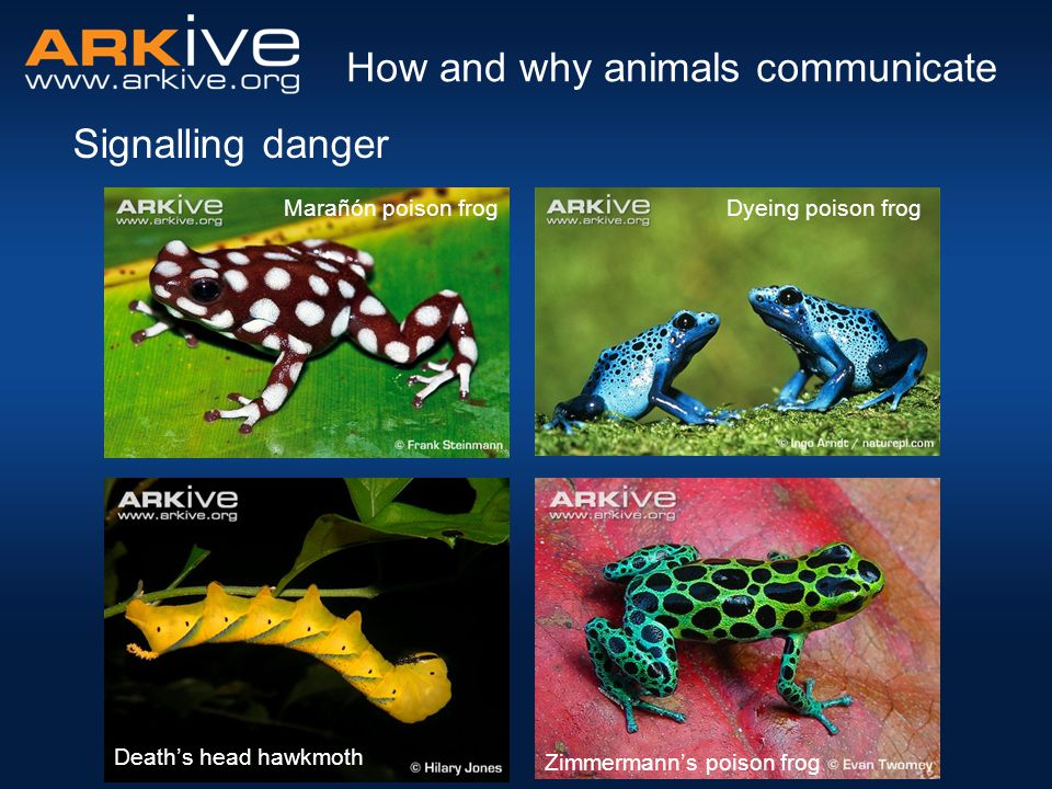 Signalling danger How and why animals communicate Death's head hawkmoth Zimmermann's poison frog Marañón poison frogDyeing poison frog
