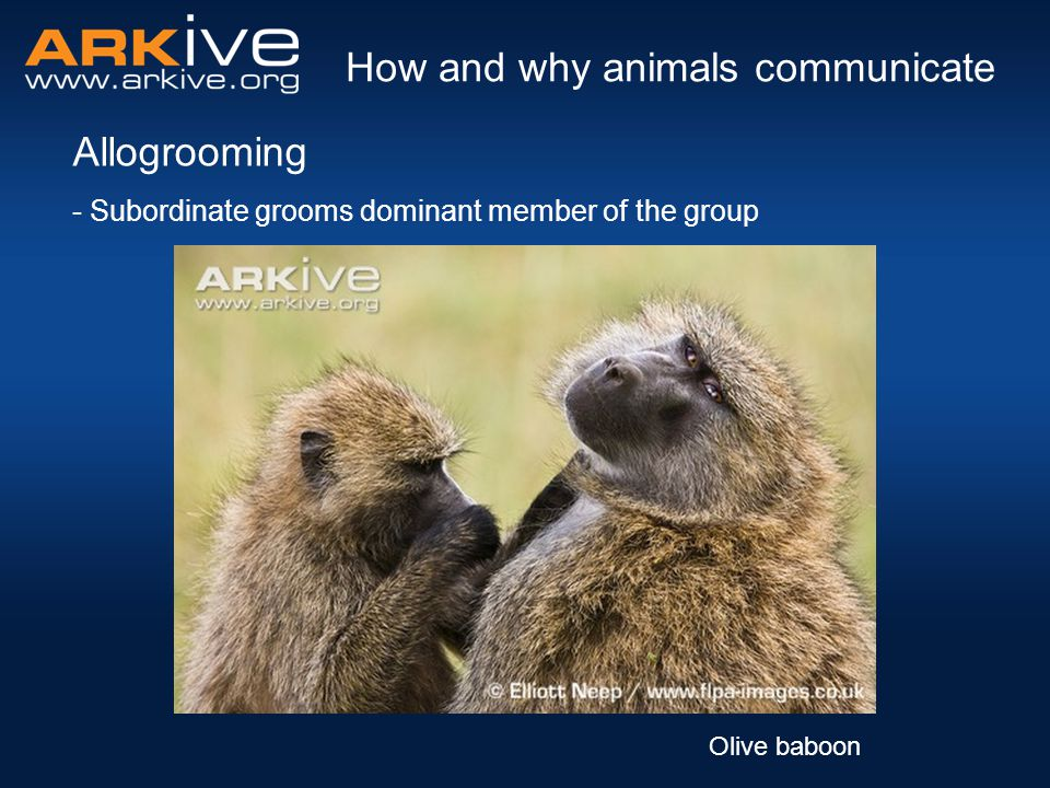 - Subordinate grooms dominant member of the group Allogrooming How and why animals communicate Olive baboon