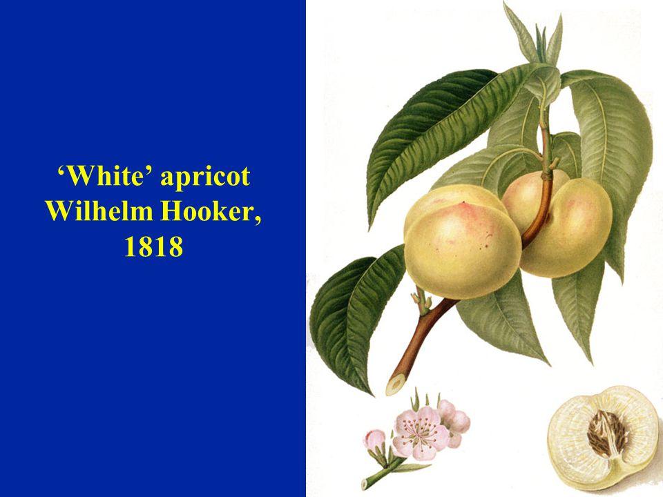'White' apricot Wilhelm Hooker, 1818