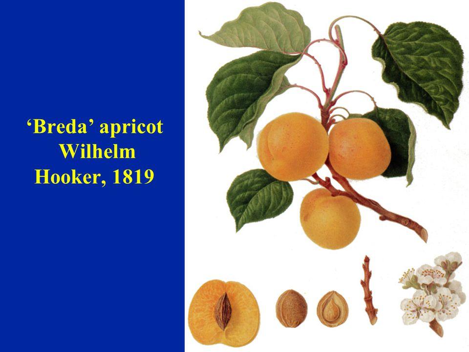 'Breda' apricot Wilhelm Hooker, 1819