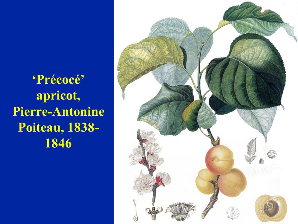 'Précocé' apricot, Pierre-Antonine Poiteau, 1838- 1846