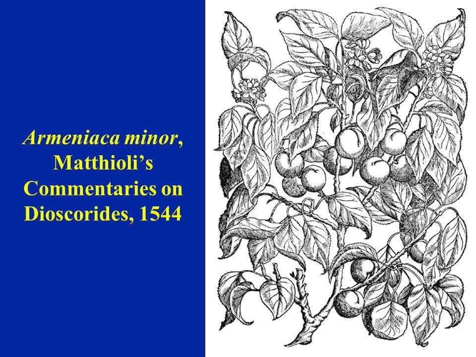 'Musch Musch' apricot Augusta Withers, 1825