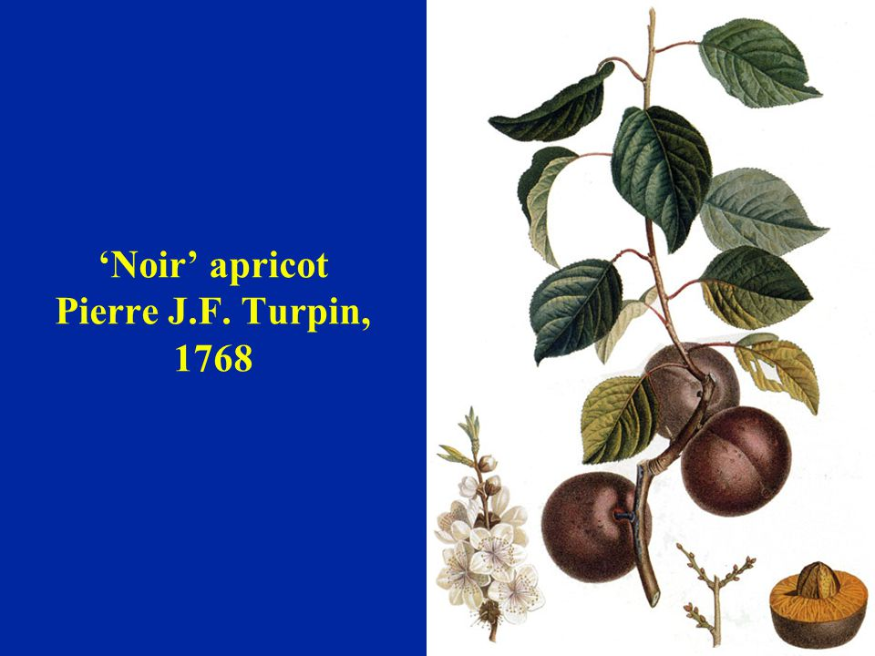 'Noir' apricot Pierre J.F. Turpin, 1768