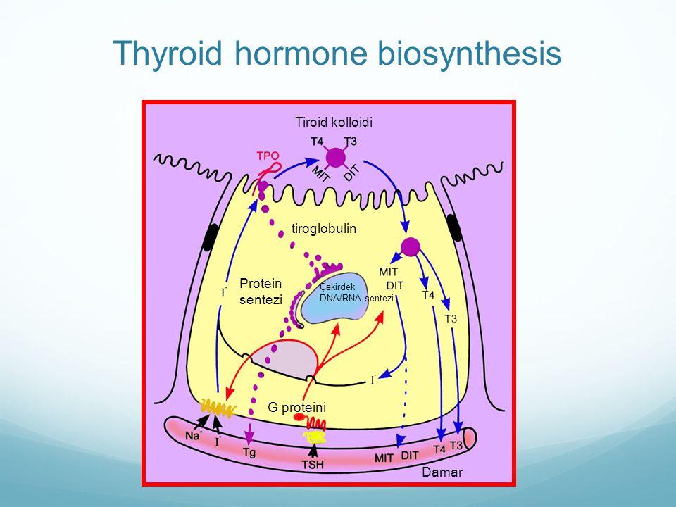 Tiroid kolloidi tiroglobulin Protein sentezi Çekirdek DNA/RNA sentezi Damar G proteini Thyroid hormone biosynthesis
