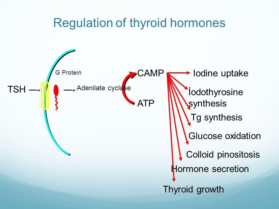 CAMP Iodine uptake İodothyrosine synthesis Tg synthesis Glucose oxidation Colloid pinositosis Hormone secretion Thyroid growth ATP Adenilate cyclase