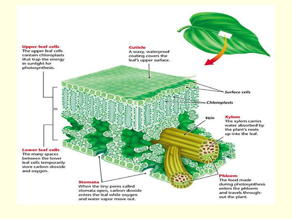 Nice Plant Leaf Anatomy Images Physiology Of Human Body Images
