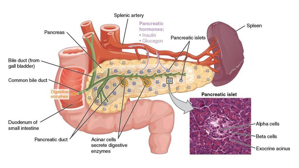 Pancreas A&P + Diabetes Pathophysiology - ppt download
