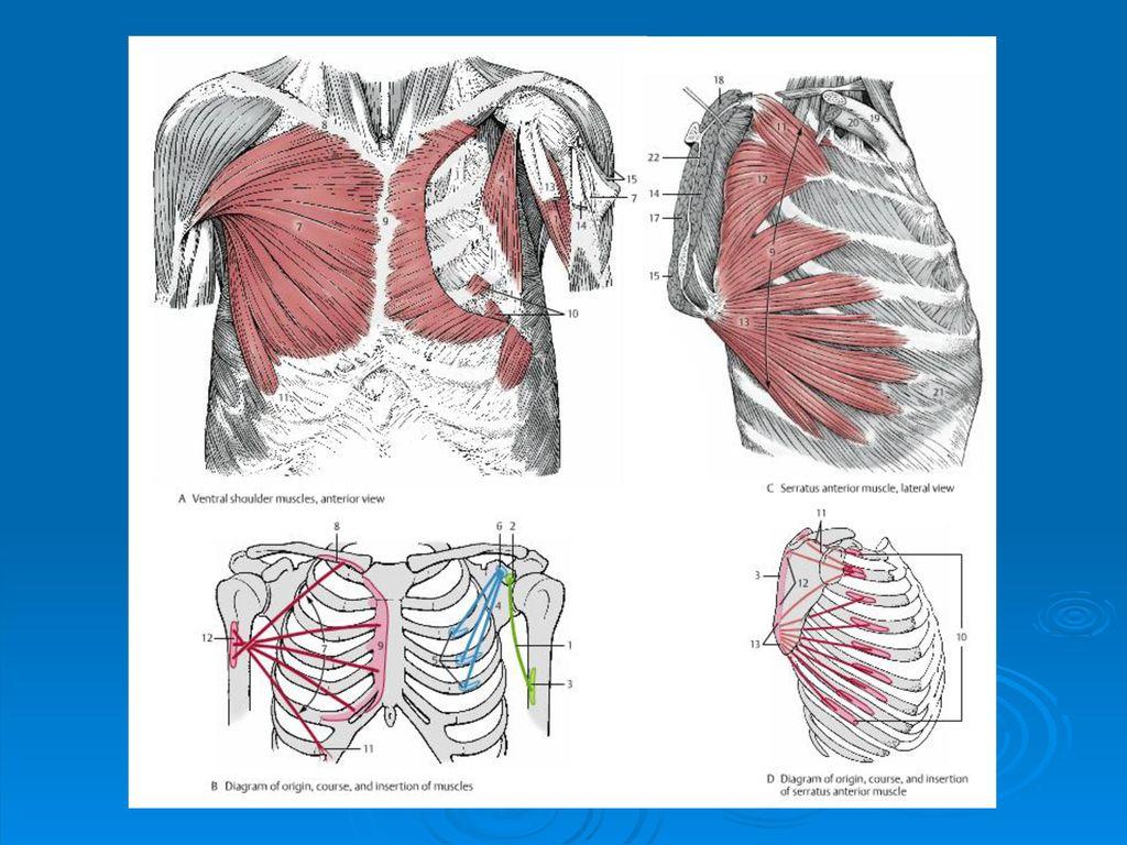 crista tuberculi majoris