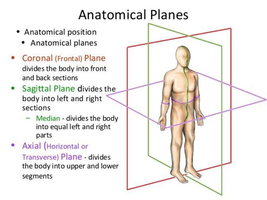Human Anatomy Planes Images - human anatomy organs diagram