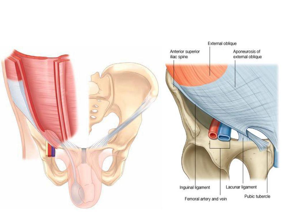 Inguinal area anatomy