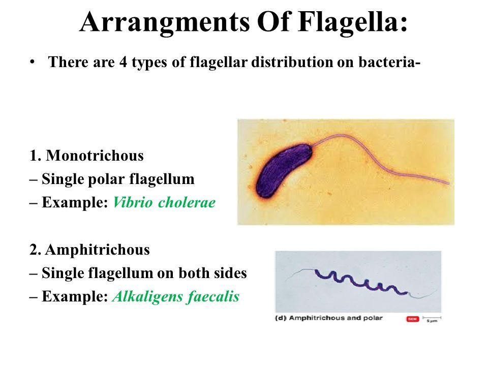 Arrangments Of Flagella: There are 4 types of flagellar distribution on bacteria- 1.