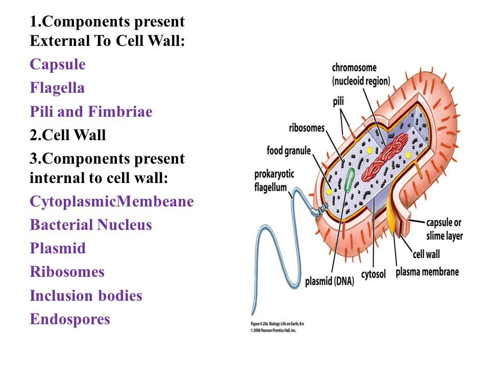 1.Components present External To Cell Wall: Capsule Flagella Pili and Fimbriae 2.Cell Wall 3.Components present internal to cell wall: CytoplasmicMembeane Bacterial Nucleus Plasmid Ribosomes Inclusion bodies Endospores
