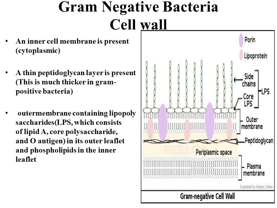 Gram Negative Bacteria Cell wall An inner cell membrane is present (cytoplasmic) A thin peptidoglycan layer is present (This is much thicker in gram- positive bacteria) outermembrane containing lipopoly saccharides(LPS, which consists of lipid A, core polysaccharide, and O antigen) in its outer leaflet and phospholipids in the inner leaflet
