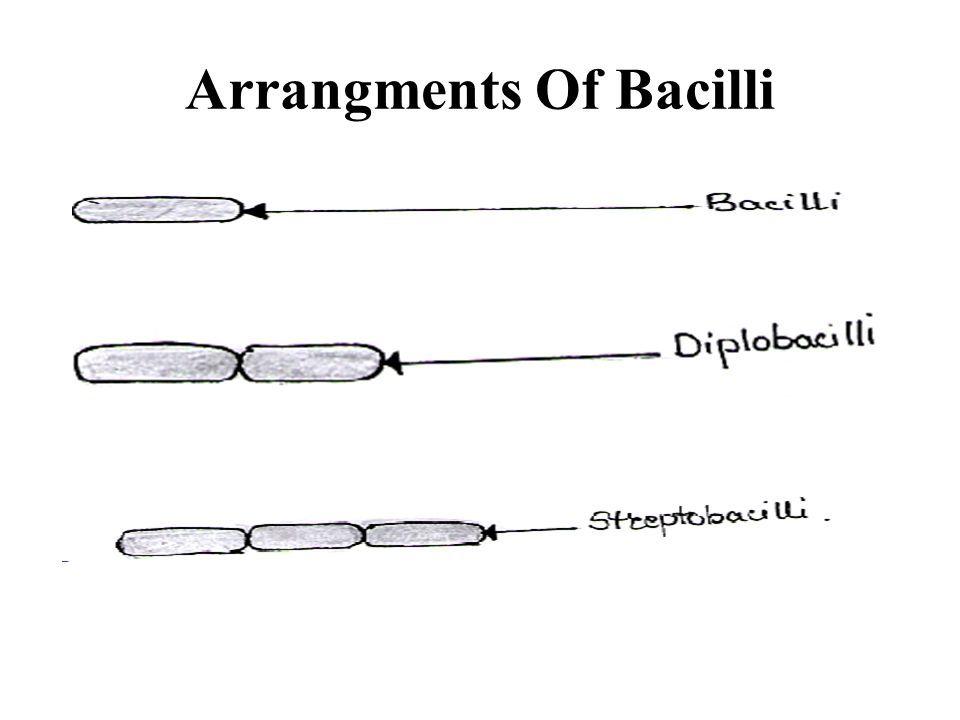 Arrangments Of Bacilli