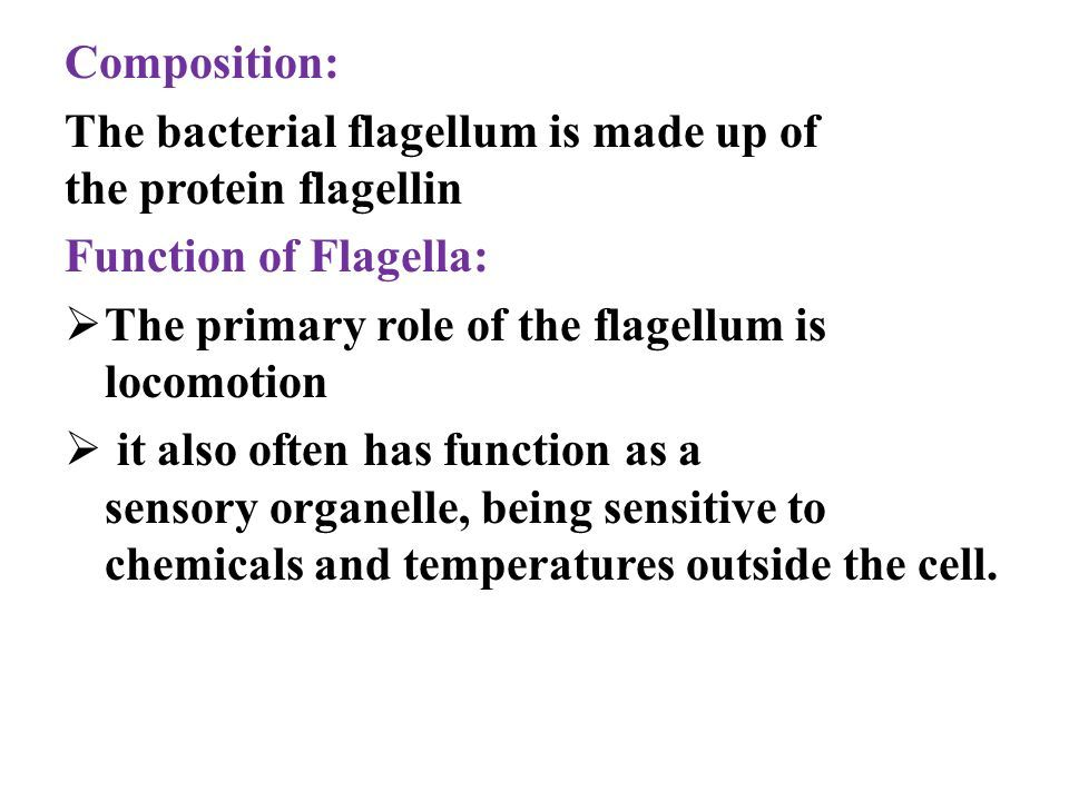 Composition: The bacterial flagellum is made up of the protein flagellin Function of Flagella:  The primary role of the flagellum is locomotion  it also often has function as a sensory organelle, being sensitive to chemicals and temperatures outside the cell.