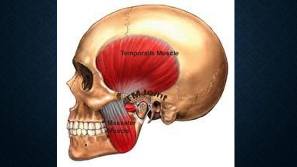 Ausgezeichnet Fossa Temporalis Anatomie Ideen - Menschliche Anatomie ...