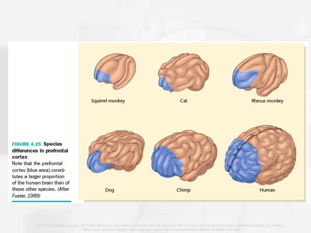 Outstanding Dog Brain Anatomy Festooning - Physiology Of Human Body ...