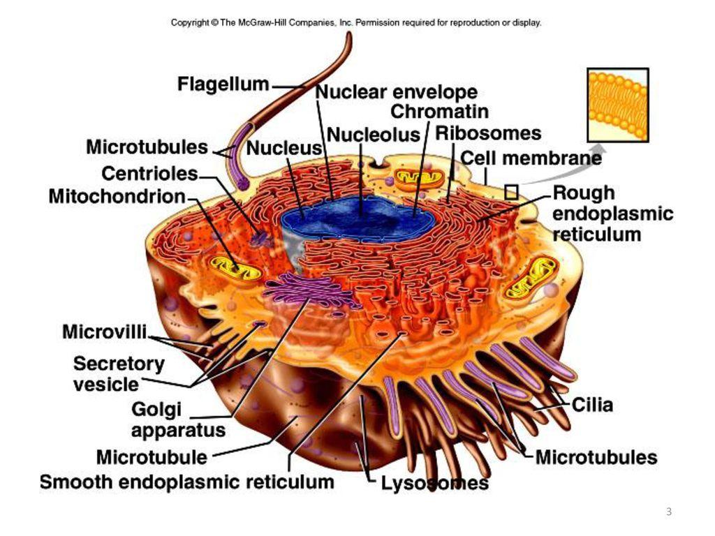 Nett Mcgraw Hill Anatomie Bilder - Menschliche Anatomie Bilder ...