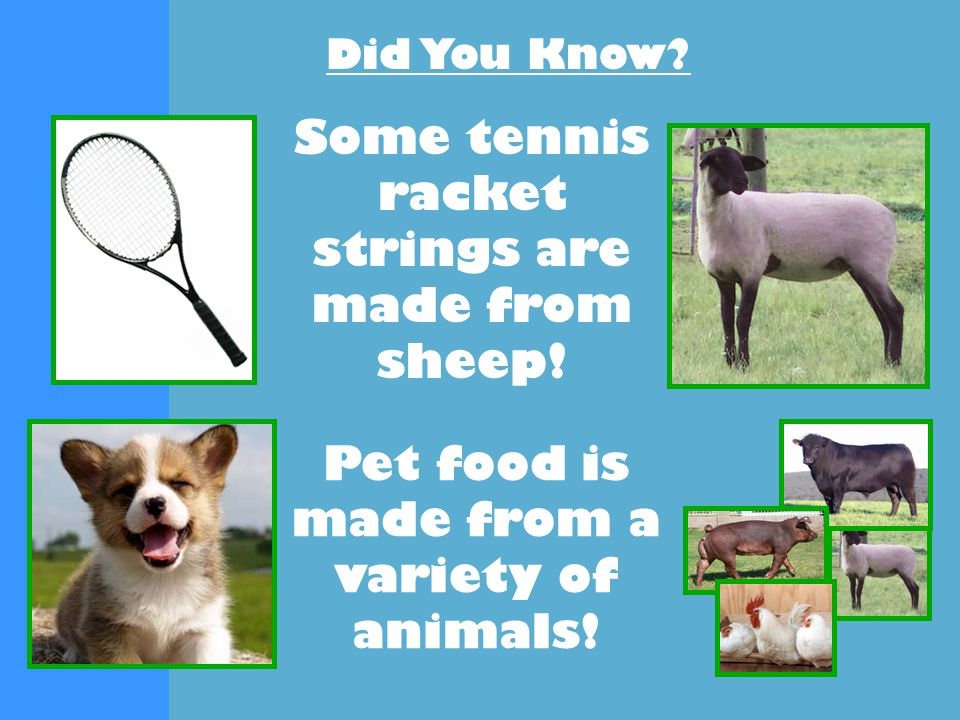 Did You Know. Some tennis racket strings are made from sheep.