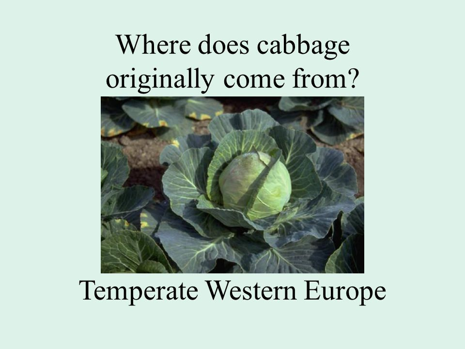 Where does cabbage originally come from Temperate Western Europe