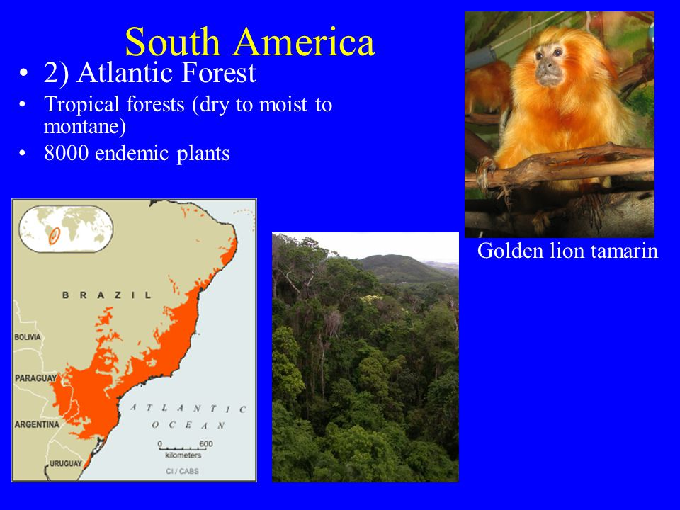 South America 2) Atlantic Forest Tropical forests (dry to moist to montane) 8000 endemic plants Golden lion tamarin